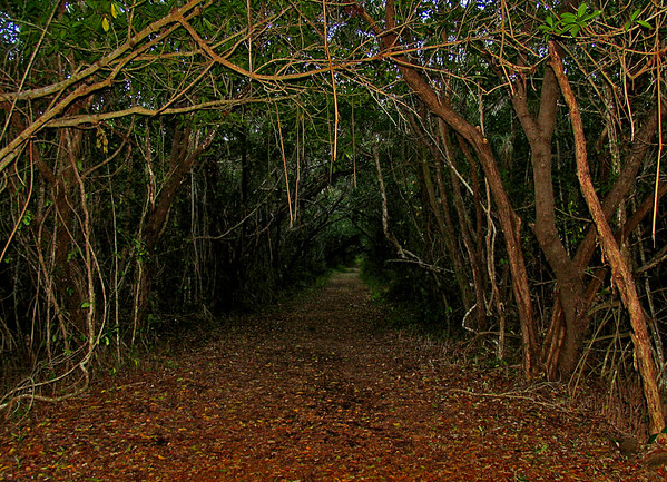 Florida, Florida Everglades, Everglades, trail, hike, hiking, foot path, path, woods, deep, dark, scarey, fun, summer, walk, mangrove, mangrove tree, forrest, National Park
