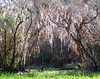 Trees with Spanish Moss... walking in the swamps at Big Cypress Nat'l park, Florida.