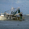 This shrimper was underway and apparently ringing the dinnerbell for the birds.