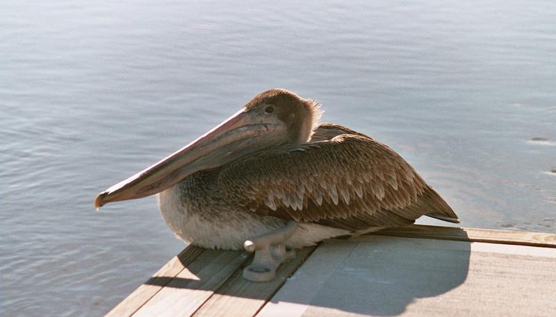 Geogia Pelican