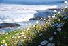 Lazy daisies (La Jolla, CA- Thur 2 19 09)