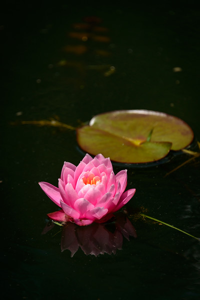 Water Lily - Gibbs Gardens