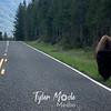 1008  Bison on Road