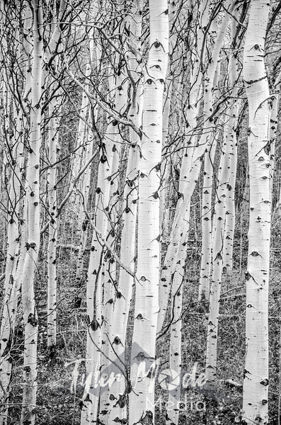 1335  G Aspens Sharp BW V