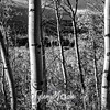 1481  G Aspens Sharp BW