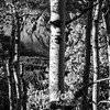 1432  G Aspen Trunk Sharp BW