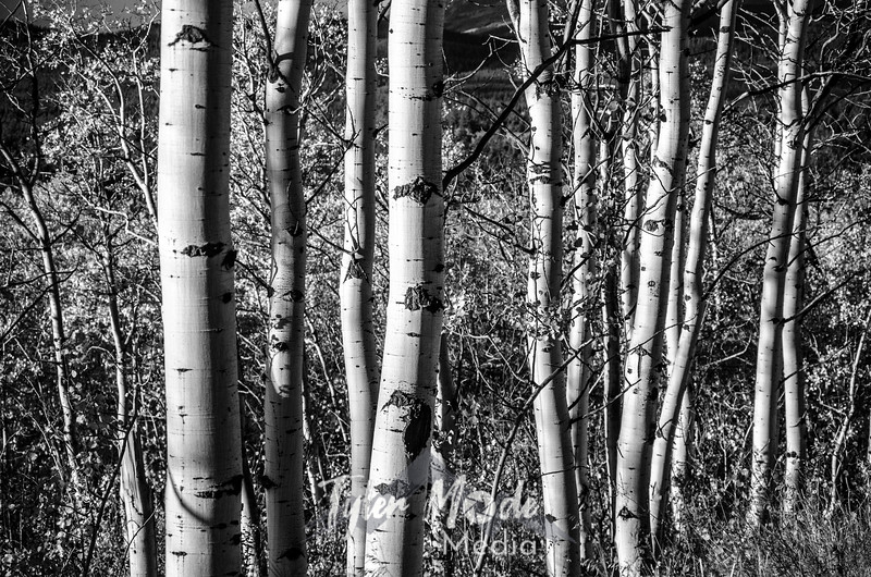 1466  G Aspen Trunks Sharp BW