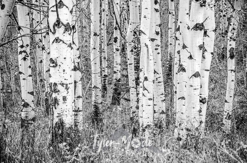 1349  G Aspen Trees and Grass Sharp BW