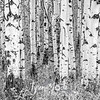 1349  G Aspen Trees and Grass Sharp BW