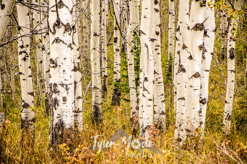 1348  G Aspen Trunks and Grass Sharp