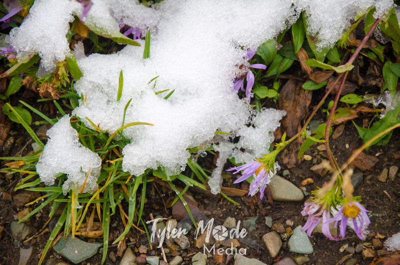 1591  G Aster and Snow