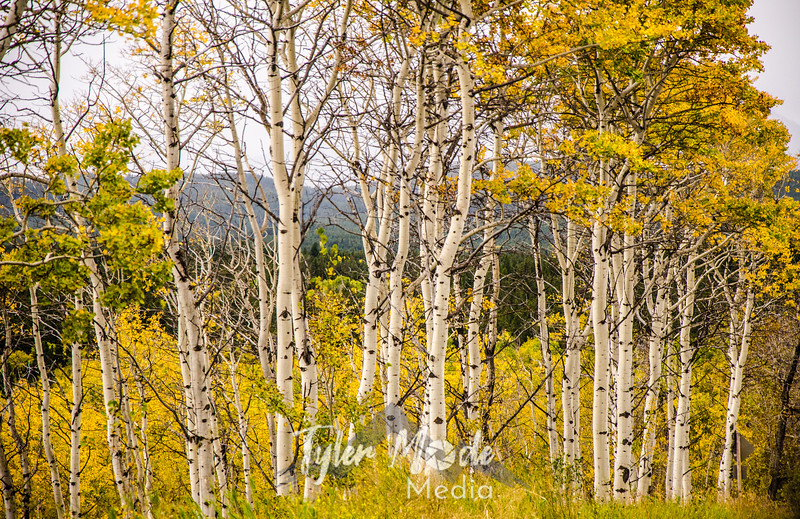 1365  G Aspens Wide Sharp