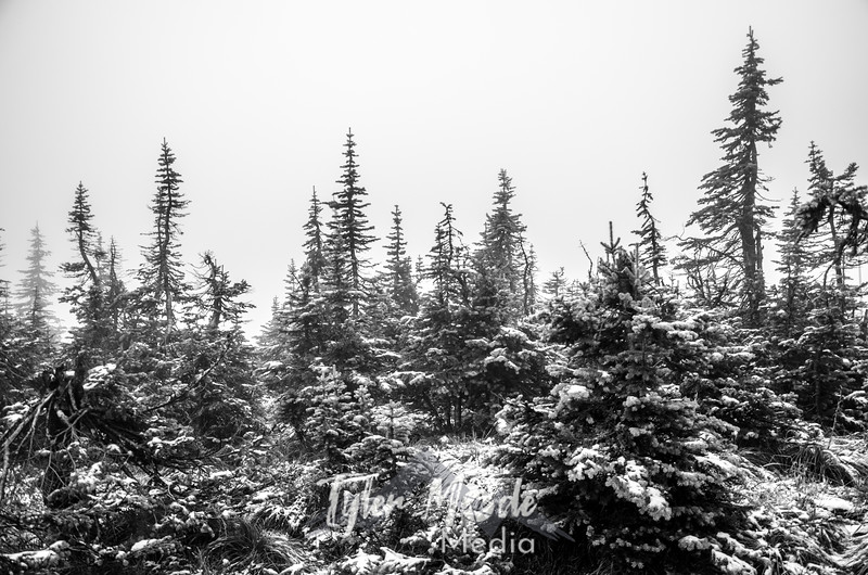 1676  G Trees Fog and Snow Sharp BW