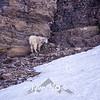 775  G Goat Near Logan Pass