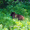 885  G Black Bear in Bushes