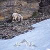 769  G Goat Near Logan Pass