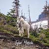 1160  G Goat on Ledge Above