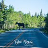 1393  G Moose on Road
