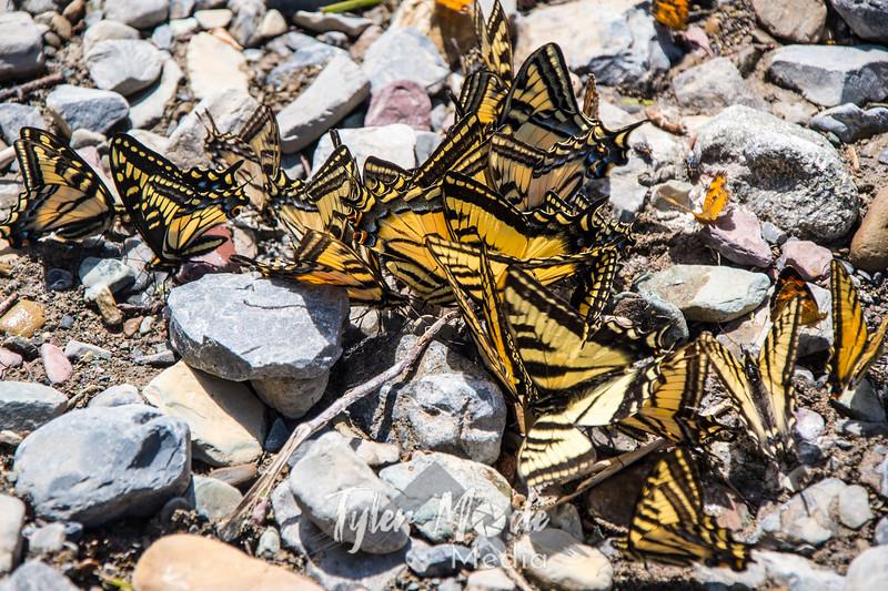1196  G Butterflies