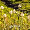 1584  G Bear Grass