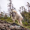 1163  G Goat Above