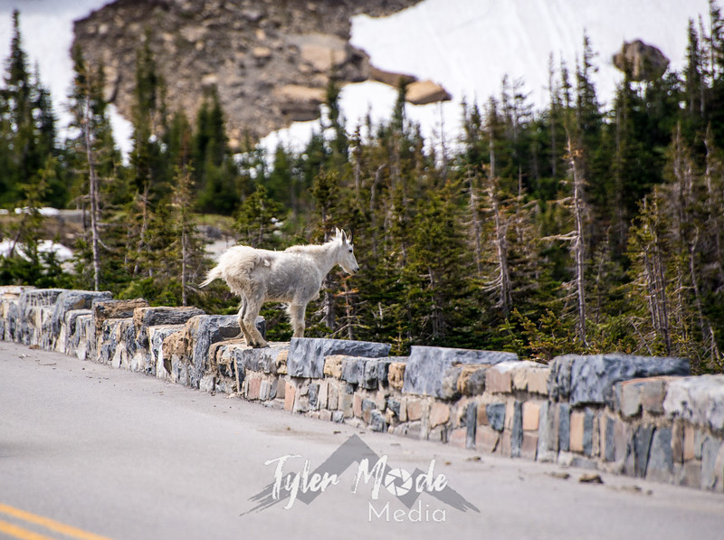 1158  G Goat on Rock Wall