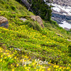 1909  G Glacier Lilies and Tree