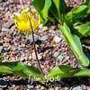 133  G Glacier Lily