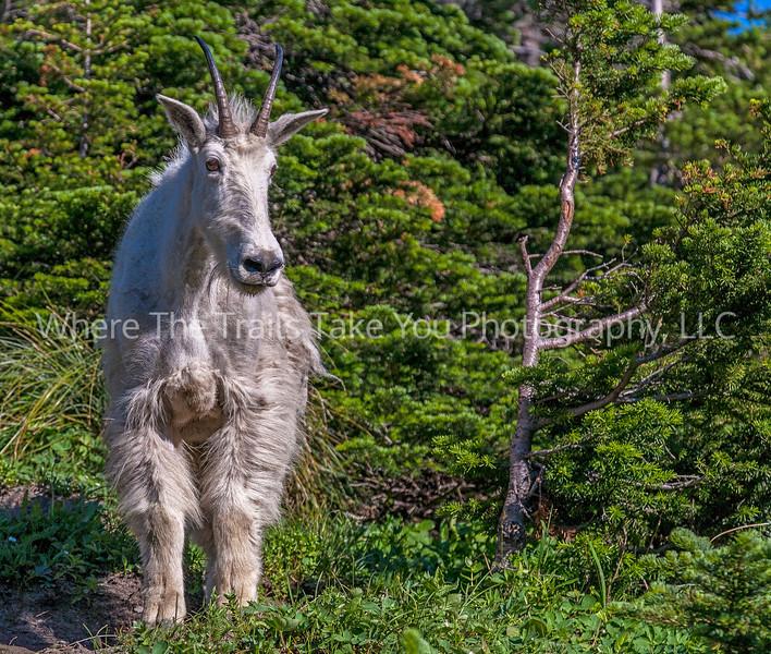 88.  Mountain Goat On Highline Trail