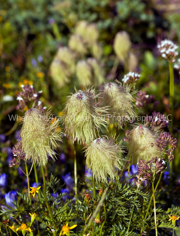 79  Bedhead - Western Pasqueflowers with other wildflowers in Glacier National Park, Montana