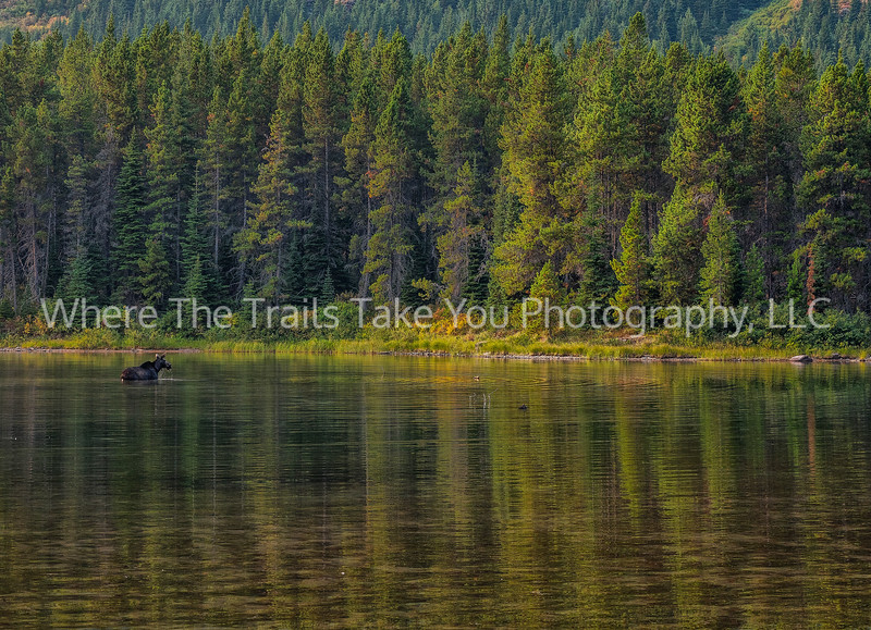 120.  Moose In Fishercap Lake
