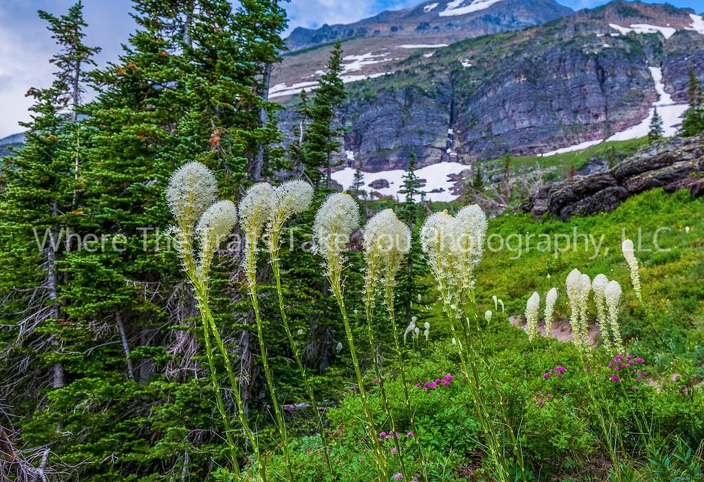 44  Beargrass Along Grinnell Glacier Trail, Many Glacier area of Glacier National Park, Montana