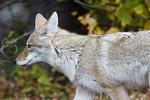 Dixie's Coyote