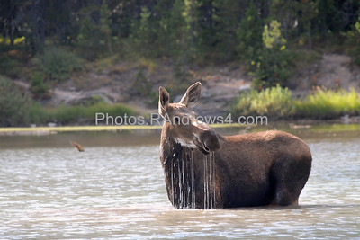 Moose in Fishercap Lake