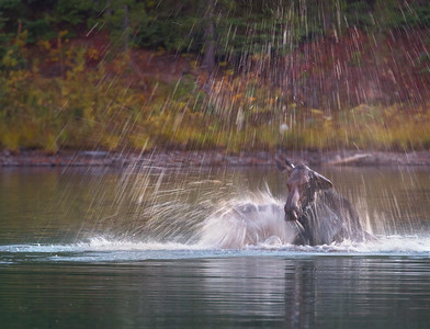 Female Moose showing displeasure against competing Cow for Bulls Attention