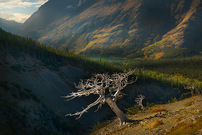 White Pine Shaped by Wind_Two Medicine Lake