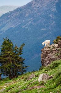 Goat at Hidden Lake overlook, Glacier National Park.
