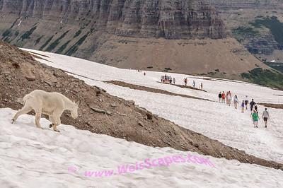 Walking thru the snow fields to Hidden Lake, Glacier National Park.