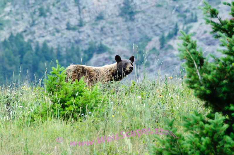Grizzly Bear looking for lunch.  Glacier International Peace Park, Alberta Canada.