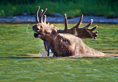 A moose arises from the lake.