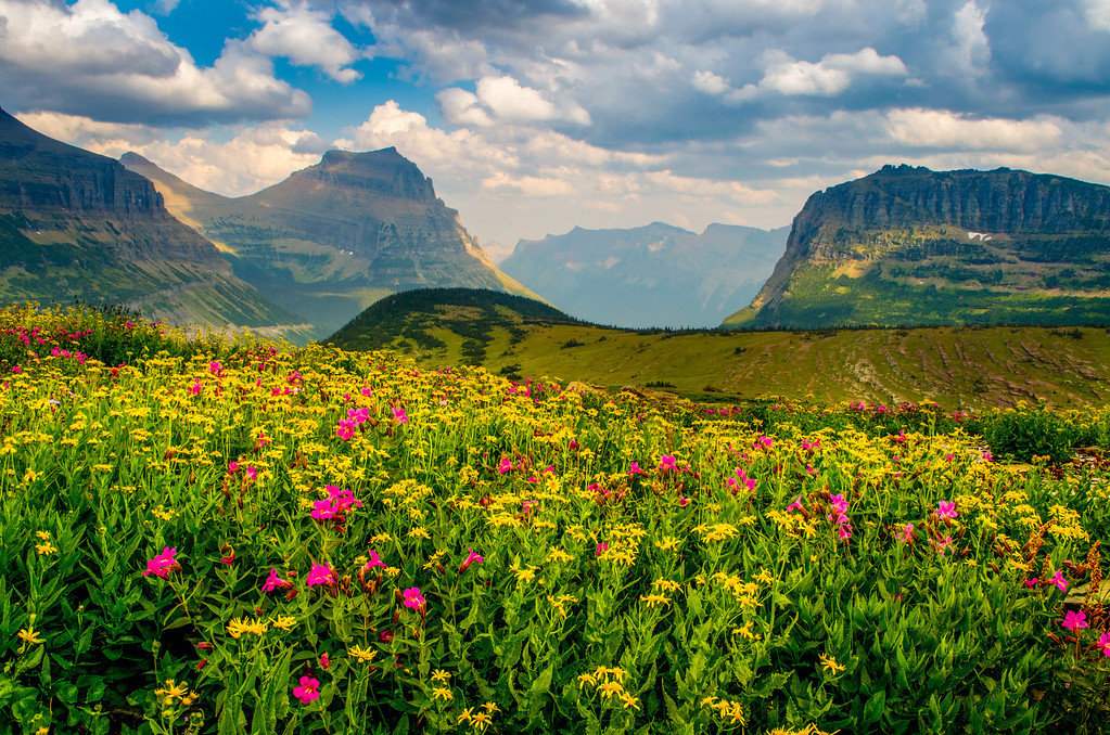 Wildflowers at Logan Pass