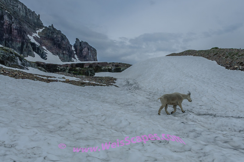 Goat crossing a snow field, along the Hidden Lake overlook trail, Glacier National Park.
