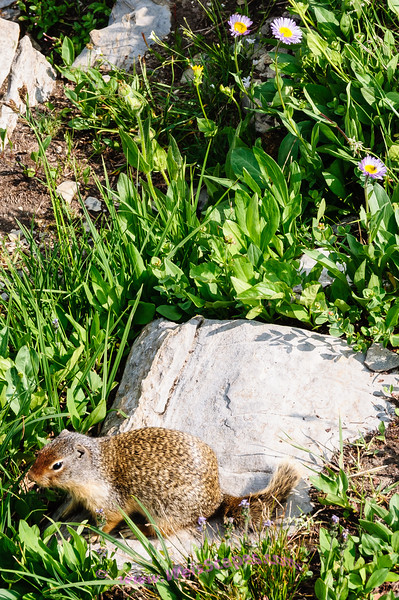 Wildlife and wildflowers at Logan Pass, Glacier National Park.
