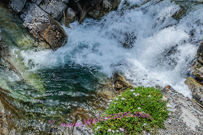 Rapids and Wild Flowers along the road to Cameron Lake, Waterton Lakes National Park, Alberta Canada.