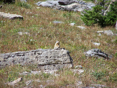 Yellow bellied marmot.