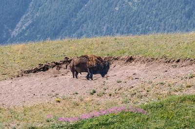 Buffalo on the prairie, north of Waterton Village.