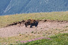 Buffalo on the prairie, north of Waterton Village.