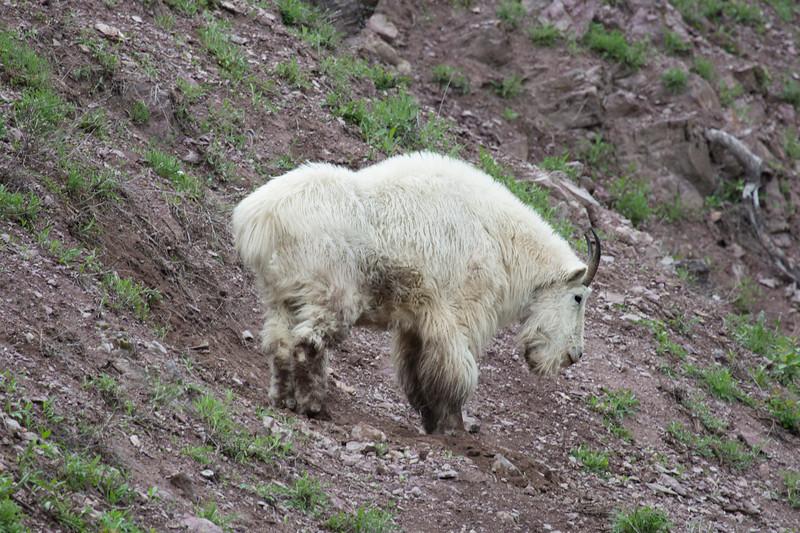 Mountain Goat near Goat Lick