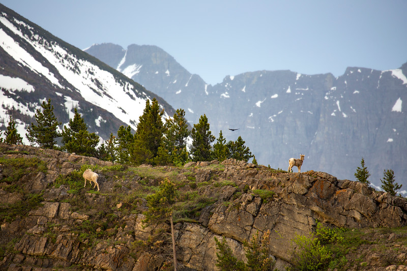 Big Horn sheep on the cliffs above Many Glacier Lodge with snow storm on the way