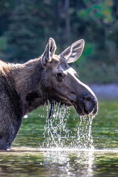 Feeding Moose - Near Many Glacier in Glacier National Park